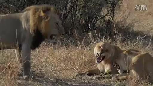 坏男孩雄狮联盟_点赞 youku 可是母狮要怎么对抗五头强大的坏男孩雄狮呢?