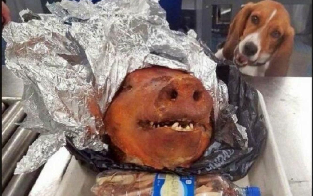 """美国机场入境处一只名叫""""哈迪""""的警犬发现一名旅客携带可疑行李,经过检查,发现一只重达1千克的熟猪头(-_-#)网络上那些很火的沙雕图#58"""