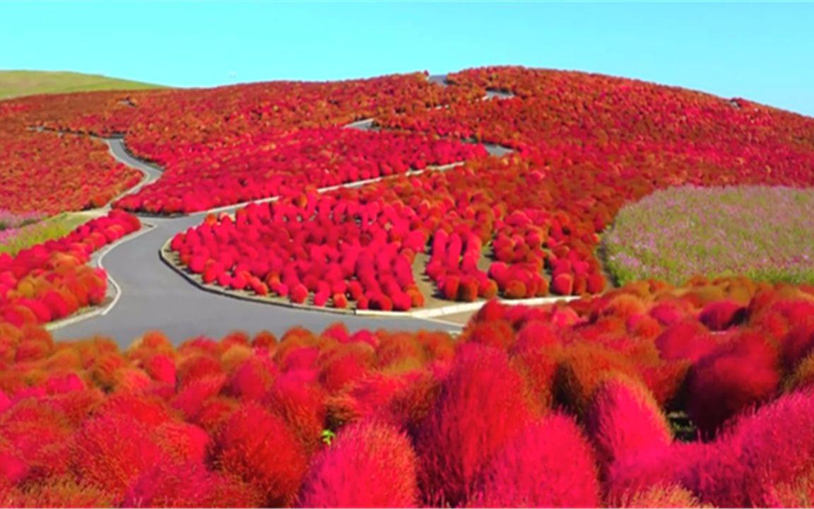 用哔哩哔哩客户端或其他应用扫描二维码 点赞 日本的网红草红叶地肤图片