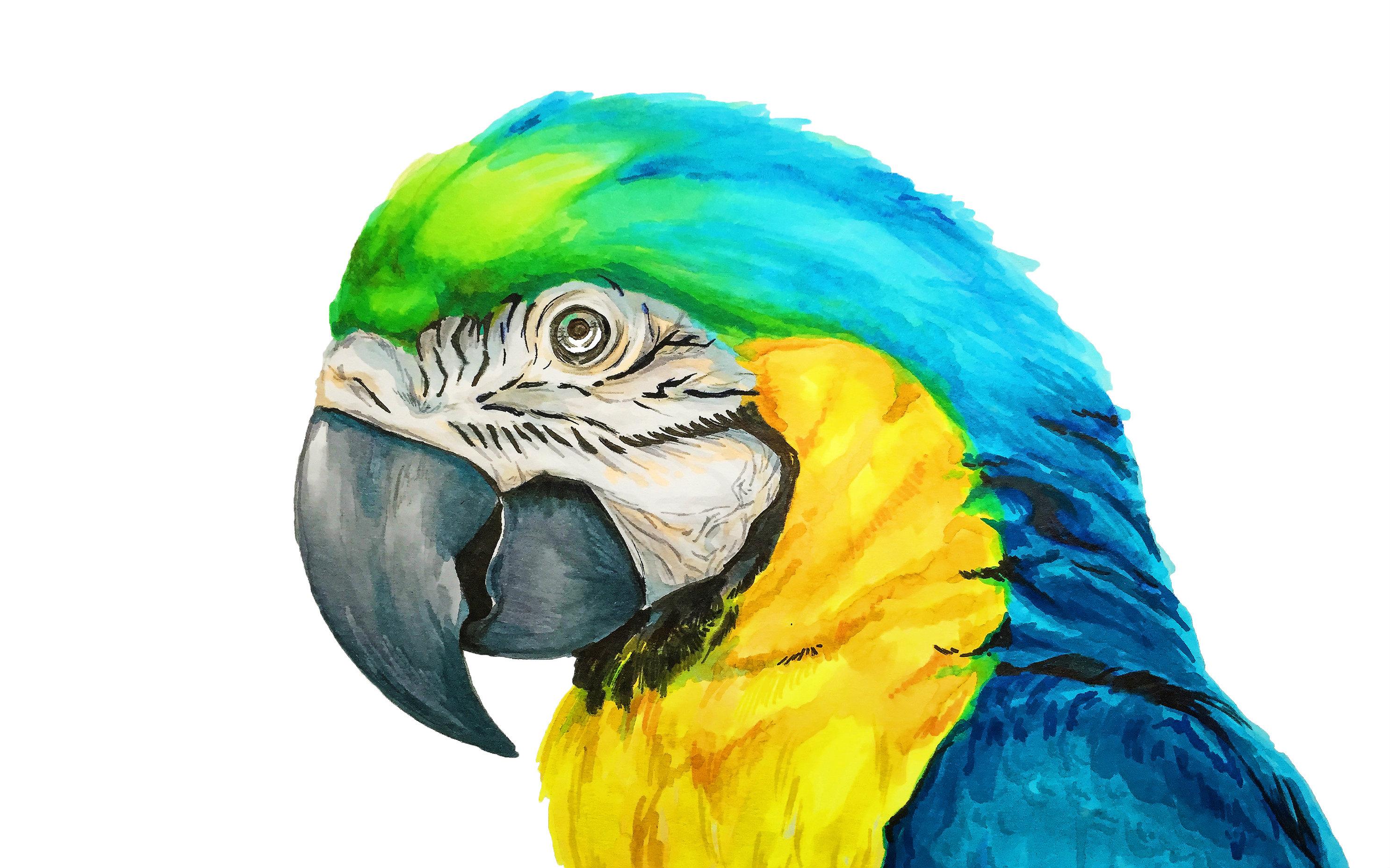 用马克笔画水彩鹦鹉(盗版笔的胜利)