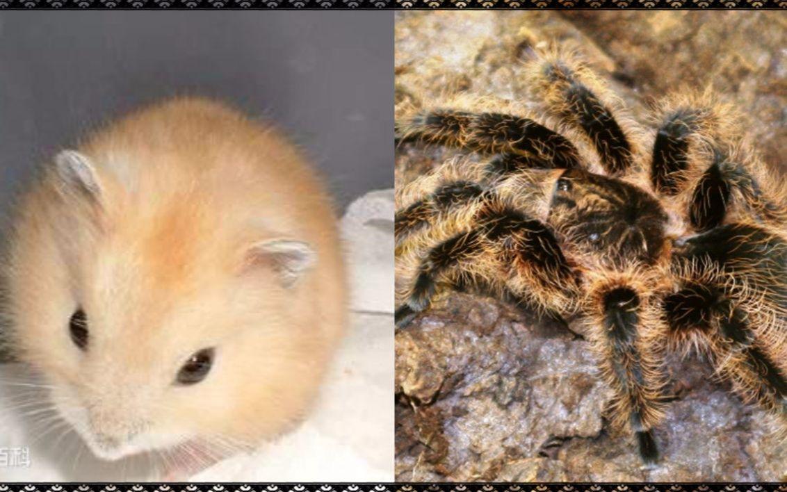 算了,不骗你们了,有仓鼠也有蜘蛛寒假的克莱鹏鹦鹉螺便携图片