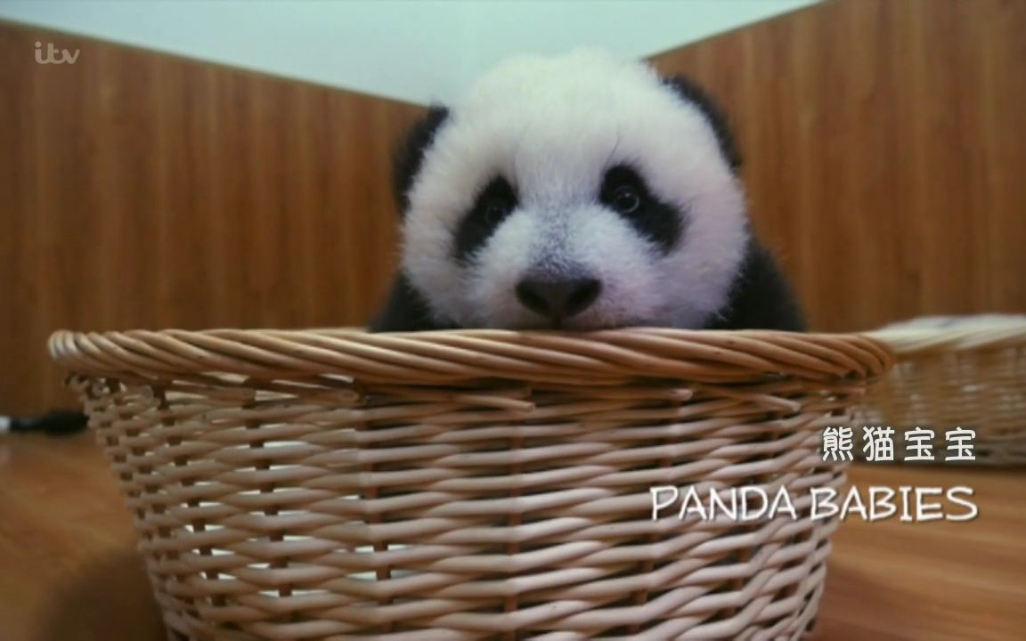 【ITV】熊猫宝宝【双语特效字幕】【纪录片之家爱自然】