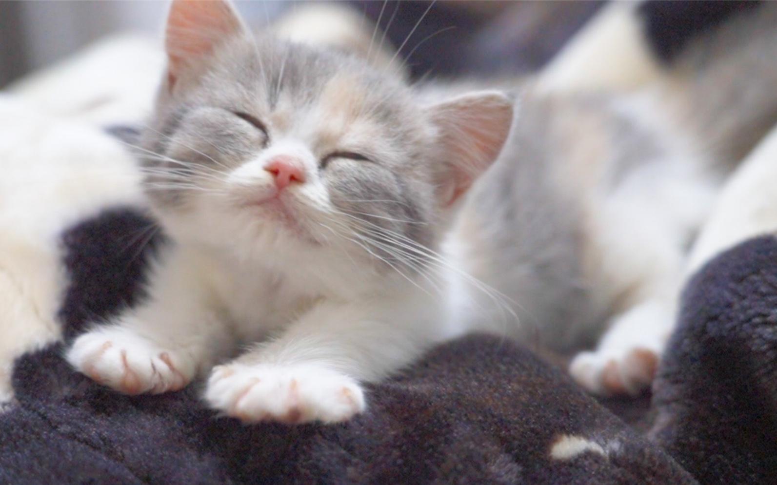 让小猫陪睡一晚会发生什么?呼噜个不停!