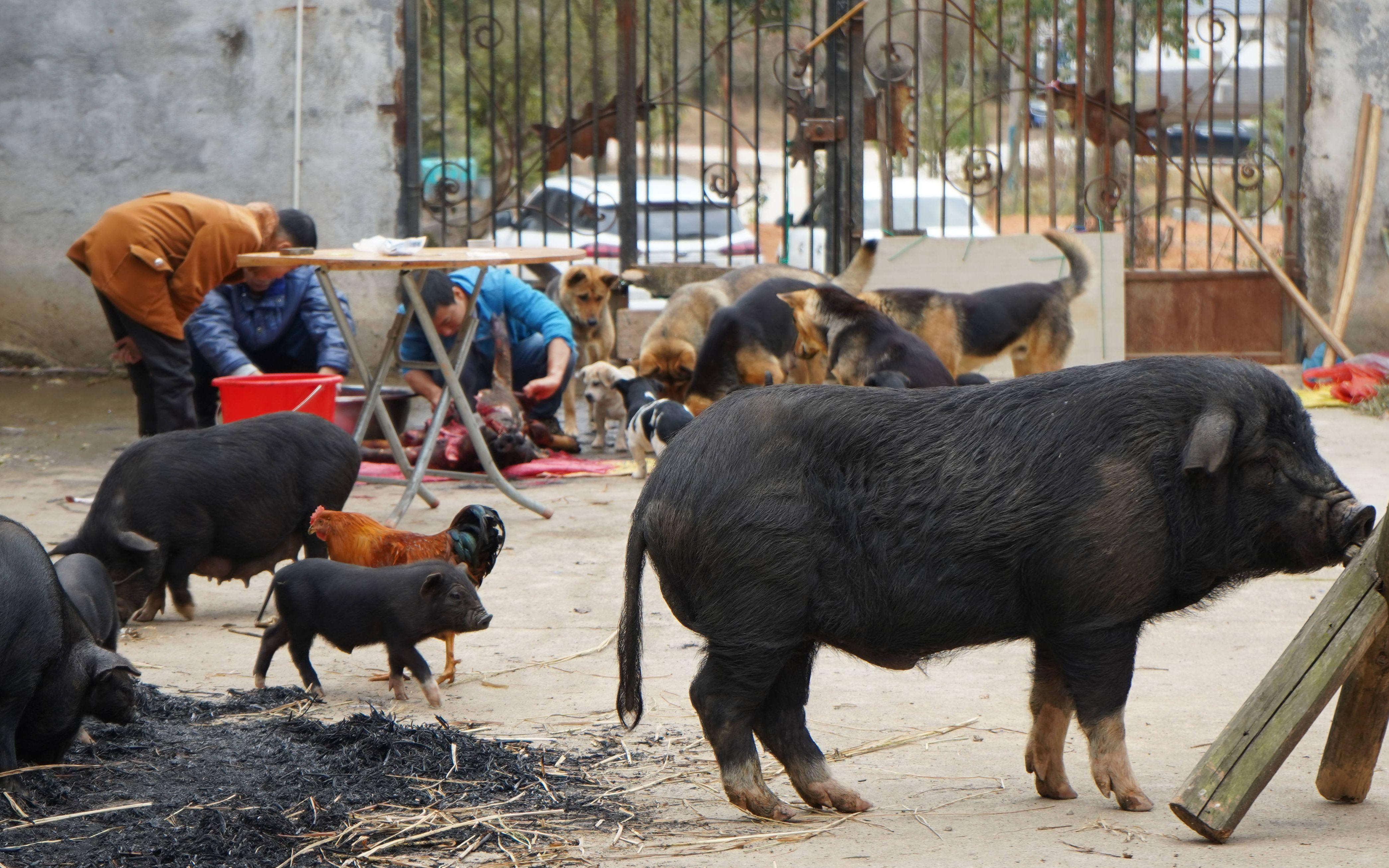 华农兄弟:过年了,烧点水,叫兄弟帮忙一起宰猪过年