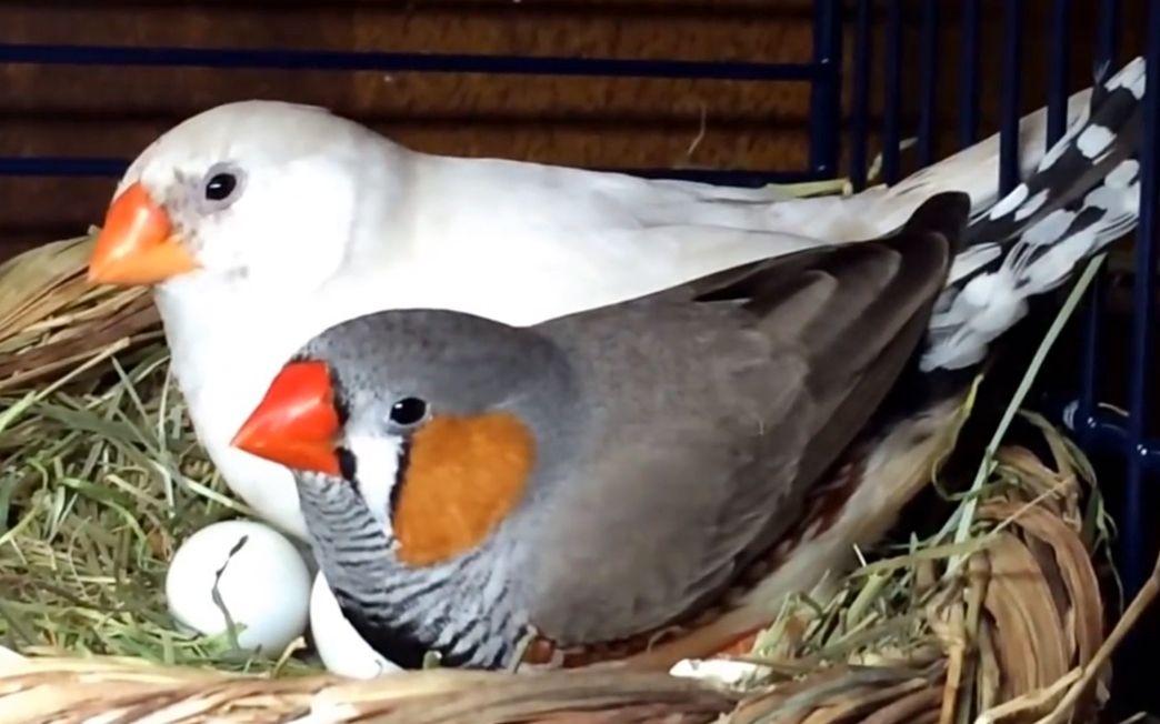 【珍珠鸟】两只小鸟一起孵化幼鸟,萌死老夫了!