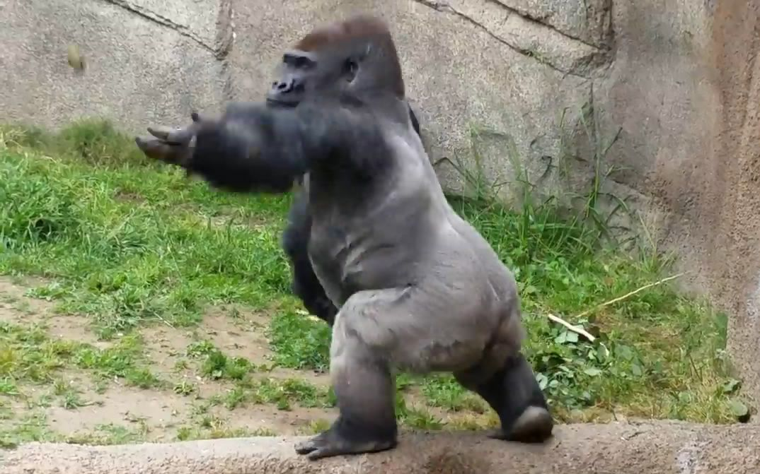 永动视频的全部相关视频_bilibili罗圈腿猩猩图片