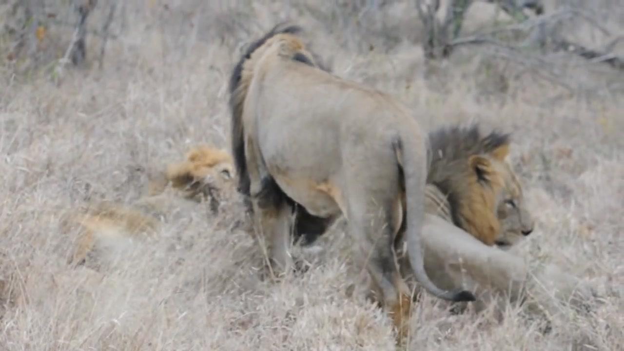 坏男孩雄狮联盟_mapogo坏男孩联盟雄狮秃尾巴与漂亮男孩撒旦