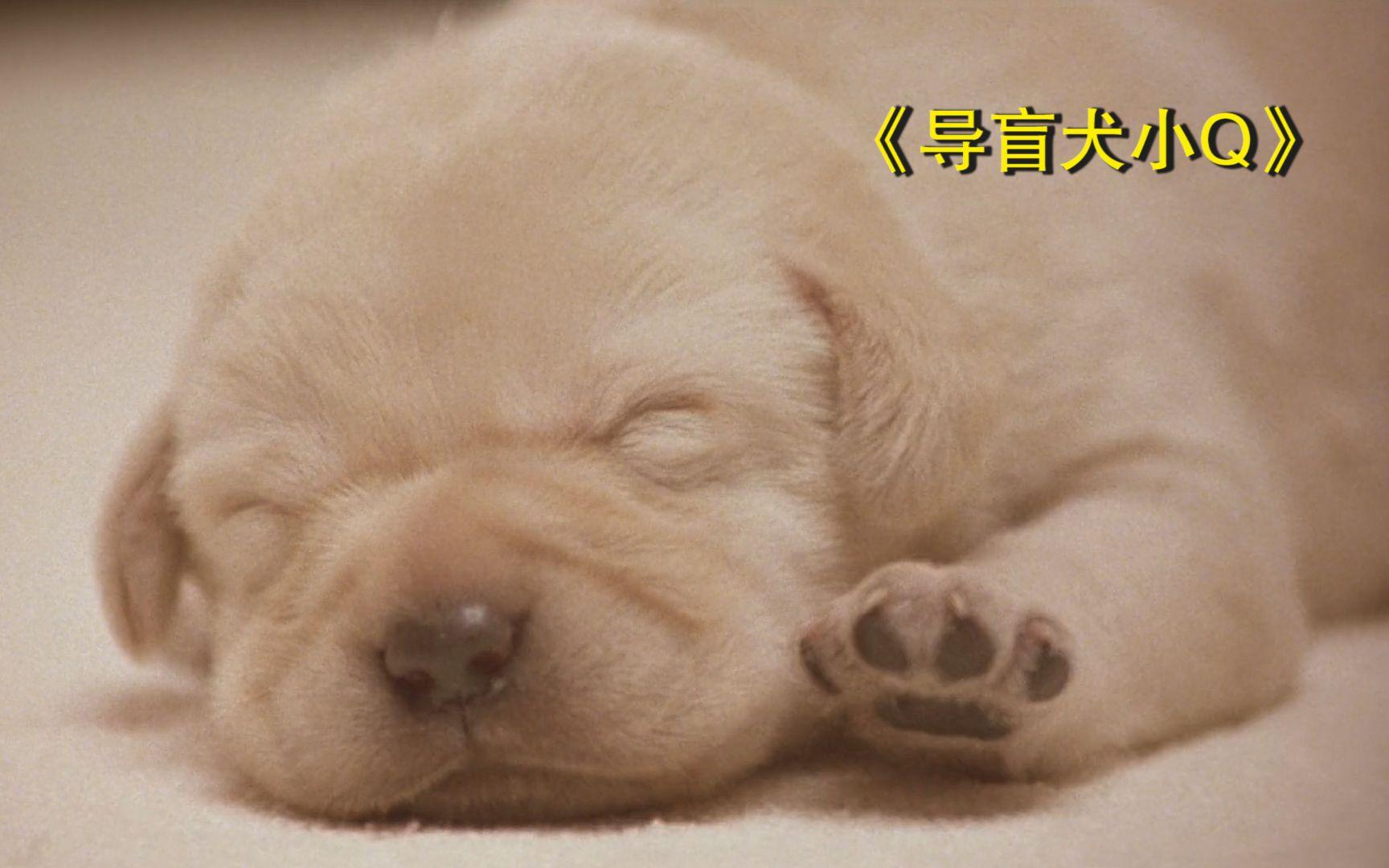 高分暖心电影,感动一亿亚洲观众,导盲犬平凡又伟大的一生