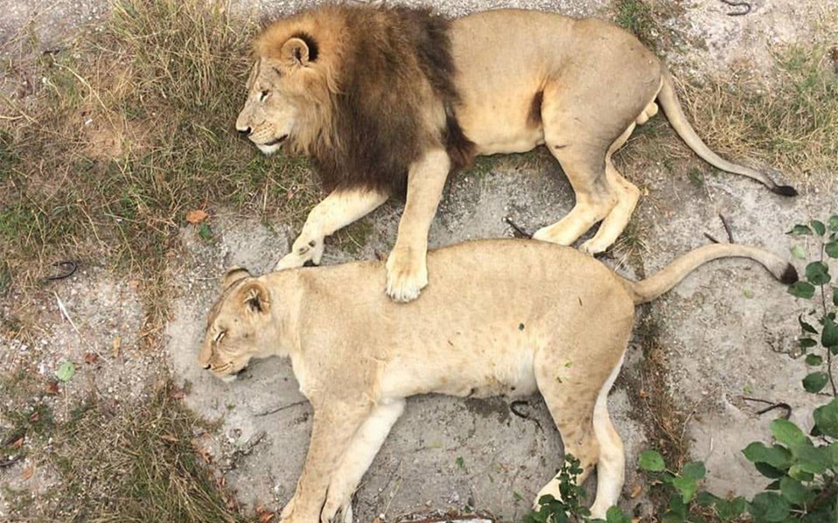 雄狮和母狮最大的区别在于鬃毛