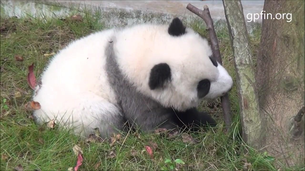 壁纸 大熊猫 动物 1280_720