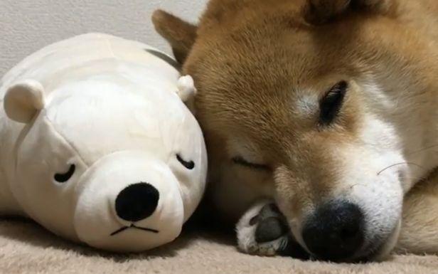 [柴犬maru的日常]今晚也靠在一起睡觉觉吧(〃~)~)人图片