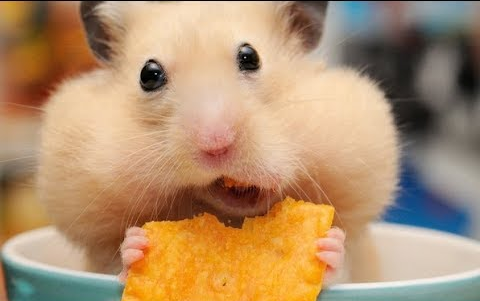 【动态萌萌】最有趣最聪明的小仓鼠们~cuteandfunniesthamster怎么清除v动态宝仓鼠森林蚂蚁图片