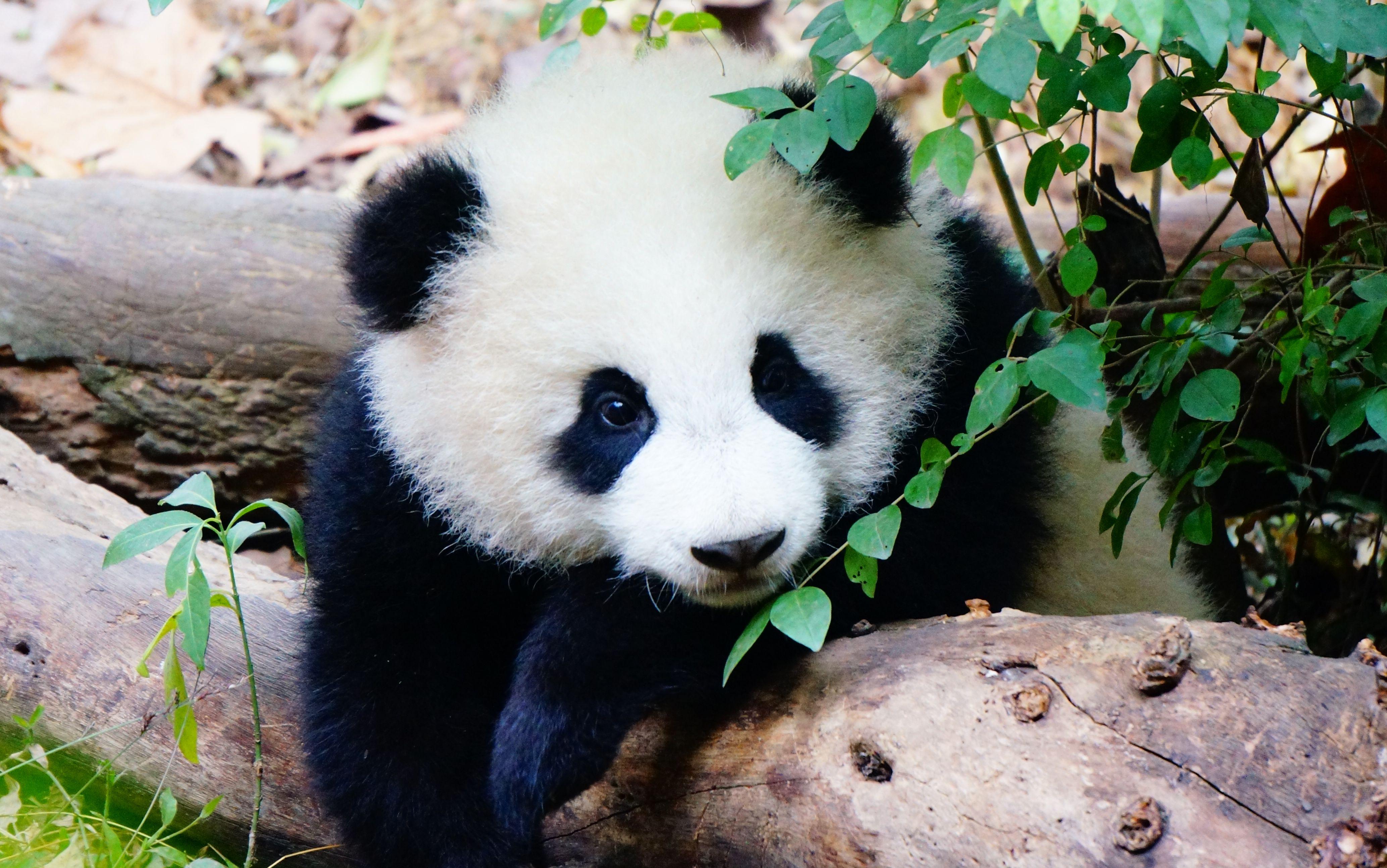 壁纸 大熊猫 动物 4134_2587