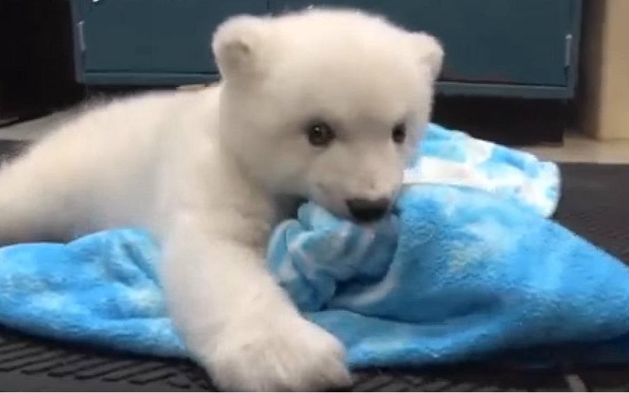 【动物园清流】安利一下幼年北极熊们~看了一晚被萌.鹦鹉鱼需要的环境图片