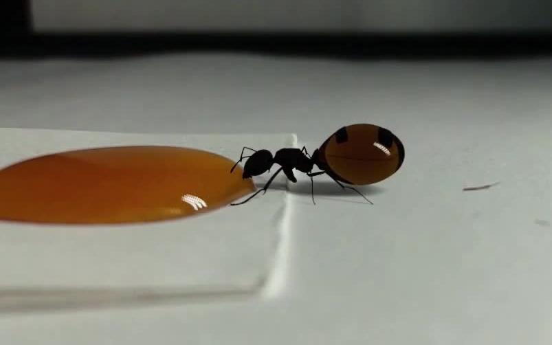 【一口吃成个胖子】蚂蚁蚂蚁吃的都比你好 - 捕捉蚁后与喂食蜂蜜后的膨胀的腹部