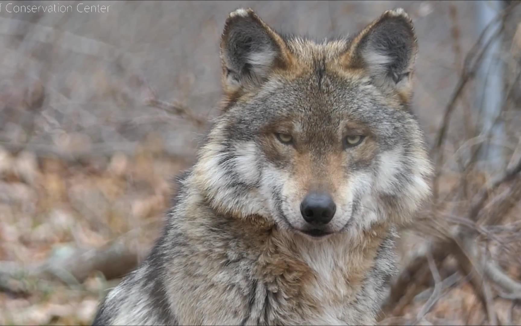 狼:看我眼神