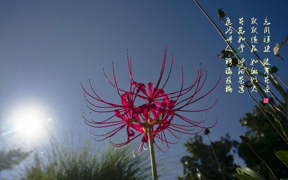 曼珠沙华——红色彼岸花  曼陀罗华——白色彼岸花  彼岸花花语:分离