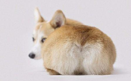 屁股上最想捏的世界之一-----柯基的鸽子!_东西圈好动物标准图图片