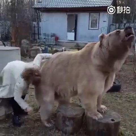 其实,俄罗斯的熊活得很没有尊严的,每天都在经受亲妈似的念叨,还只能强忍着......宝宝也很委屈啊!