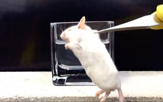 人的胃酸的酸性到底有多强?用死去的小白鼠做个试验就知道吓人了
