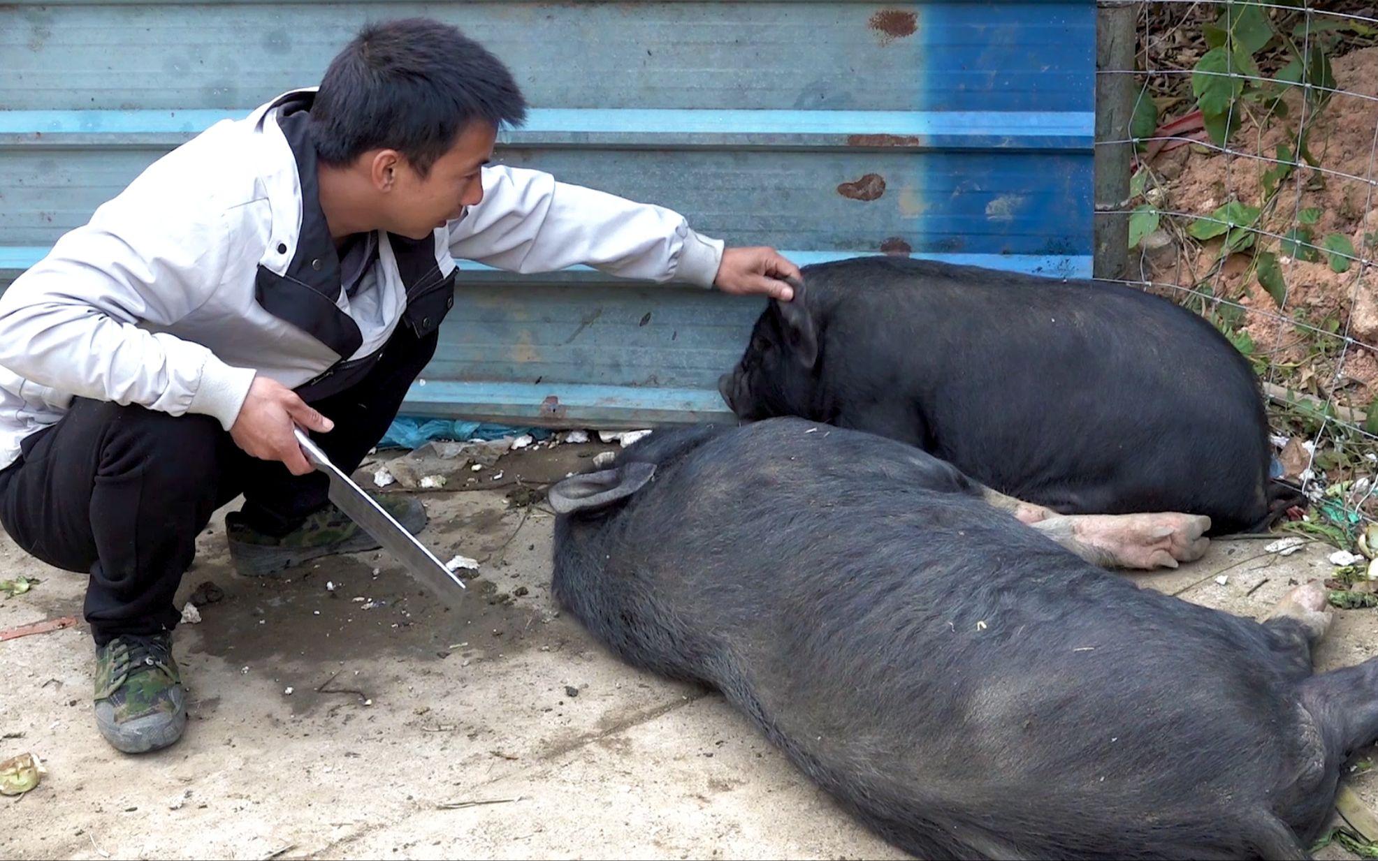 华农兄弟:猪吃酒糟醉了,叫兄弟帮忙一起宰猪,烤起来很香哦