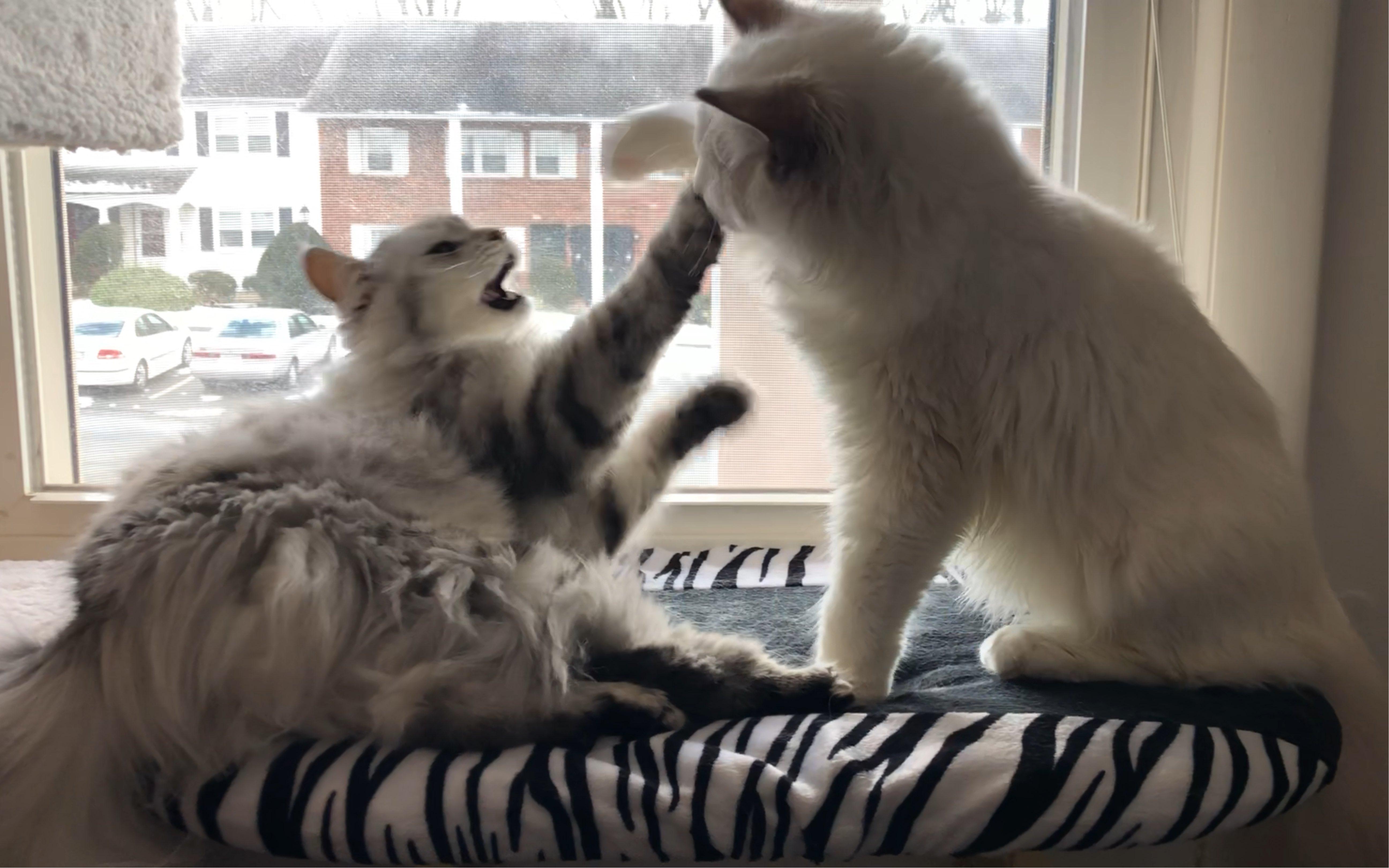 互舔_【布偶猫&西伯利亚森林猫】打架式互舔毛