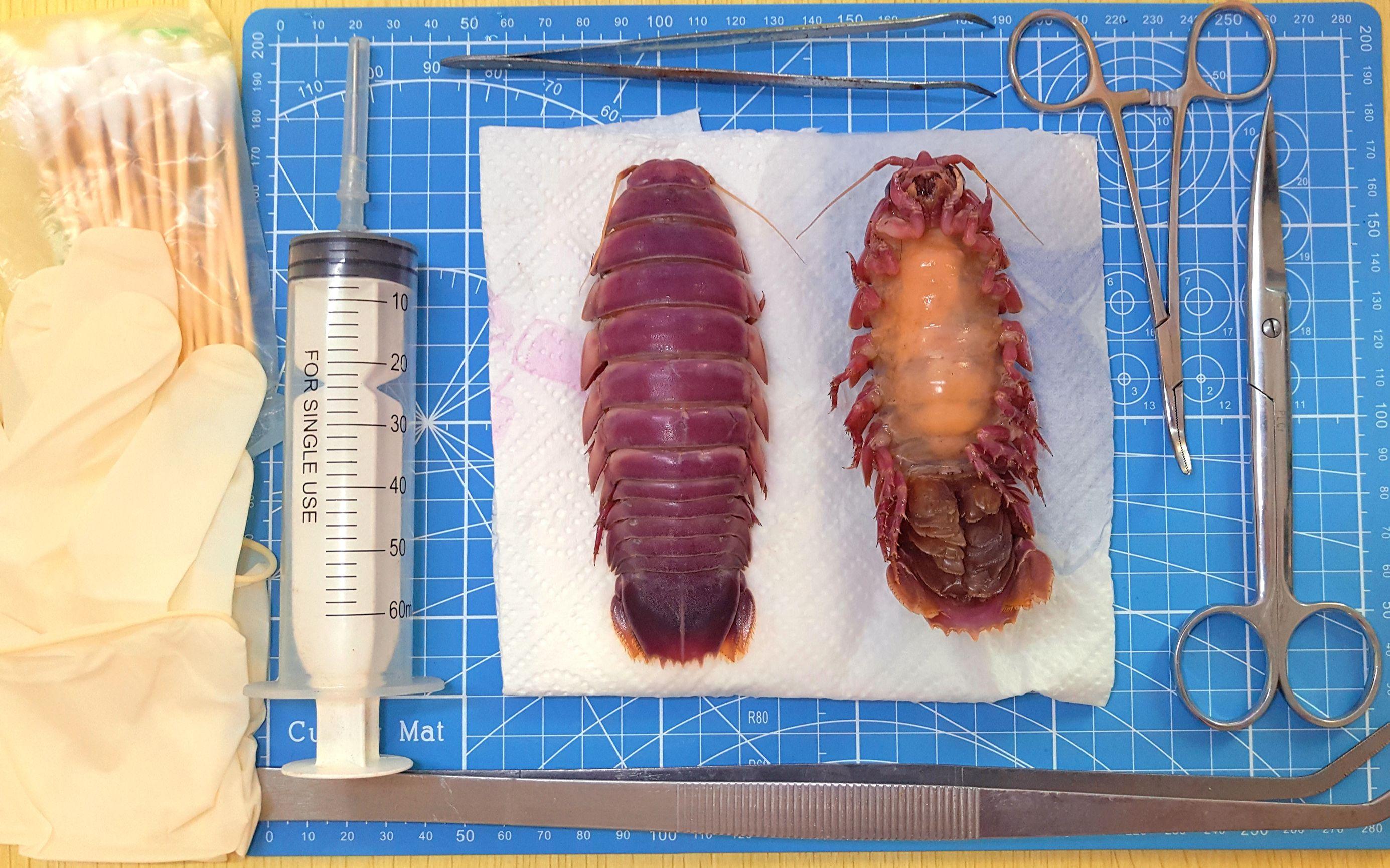 小清新女up解剖尸蟞原型虫,并制成标本(第二期)