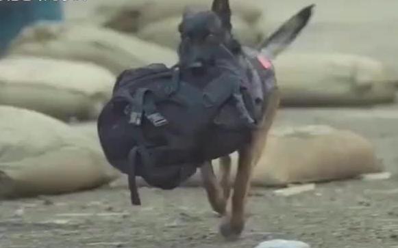 男主人受伤,军犬居然叼炸药独自去炸坦克,看哭了!