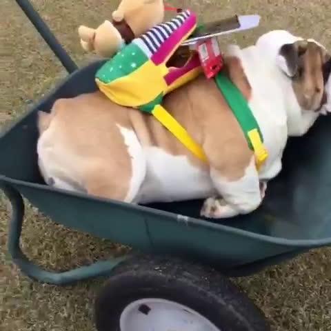 【搞笑】英国斗牛犬背着小书包趴在小推车里,表情不开心