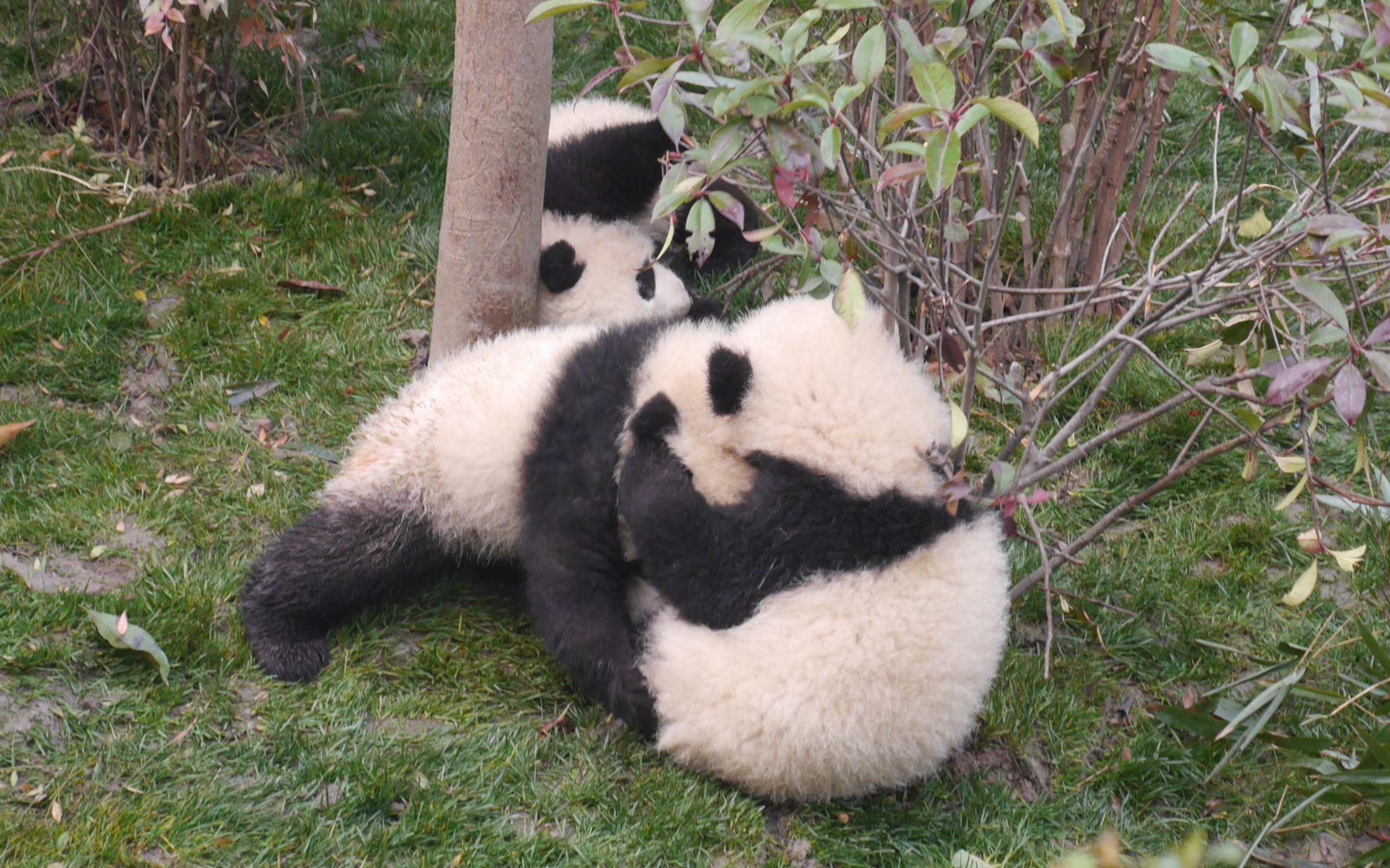 壁纸 大熊猫 动物 2228_1392