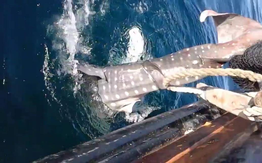 幼年鲸鲨被捕,所幸被放归