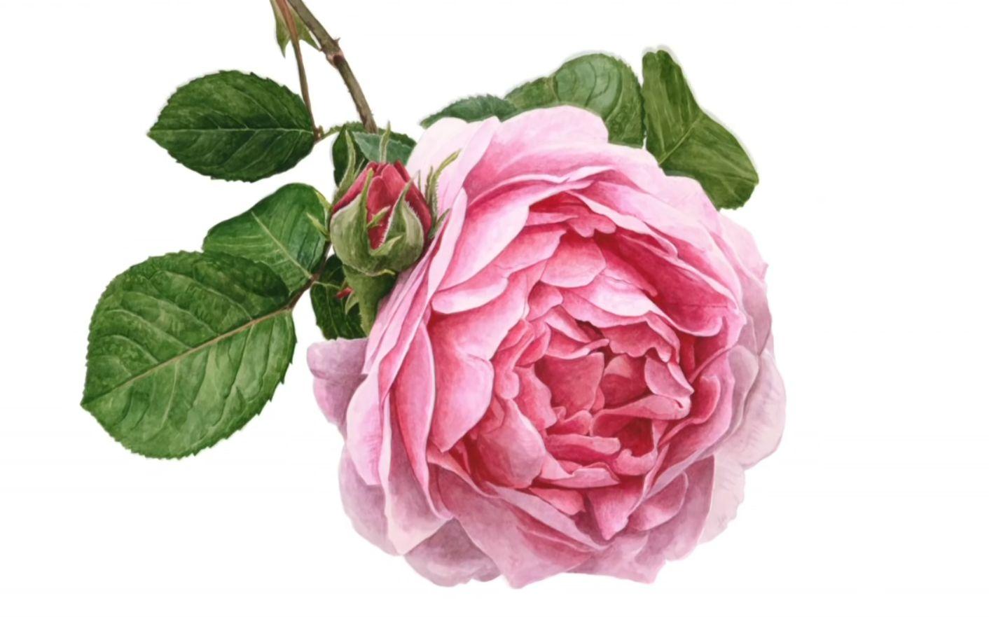 水彩图|简单而又漂亮的水粉画|水彩初学者临摹图片|玫瑰水彩画法步骤图片