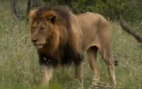 v=uxz16klrcmw&t=13s 南非萨比森朱马保护区伯明翰联盟雄狮与冥河狮群