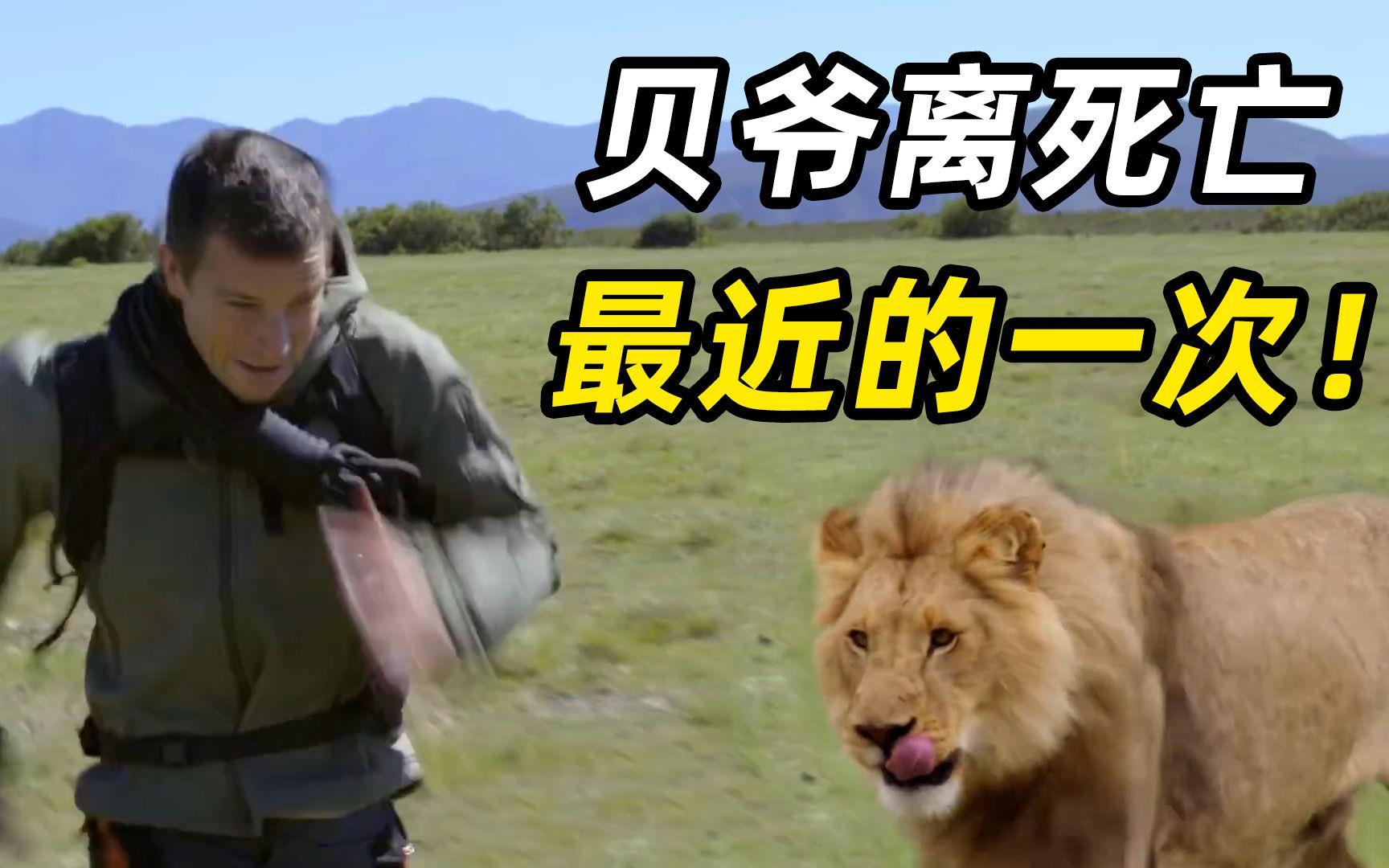 贝爷VS美洲狮,狮口逃生,蟒蛇缠绕,吓得窜树2米高