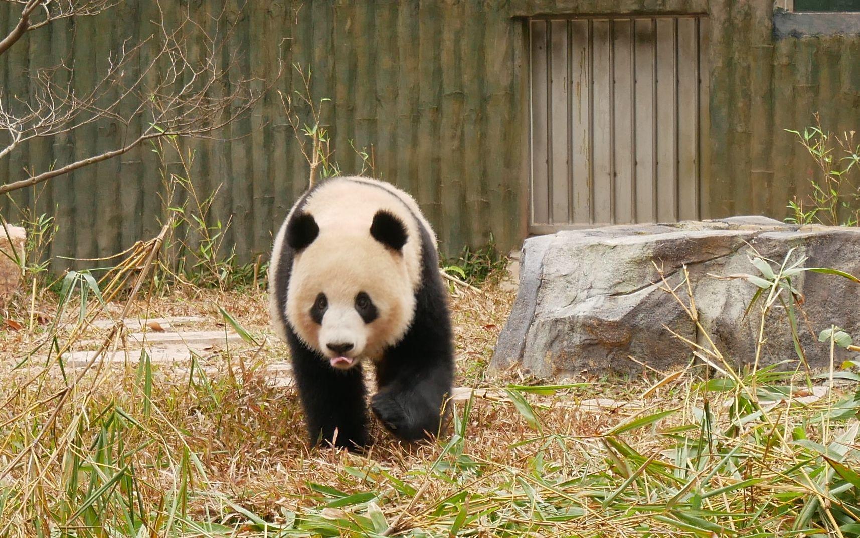 壁纸 大熊猫 动物 1715_1073