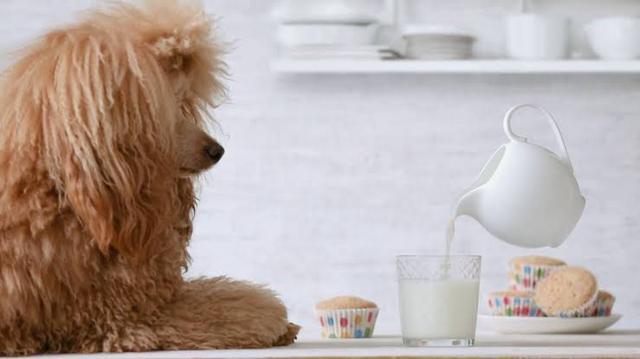 乳制品有小米,可致狗狗乳糖不耐受或蛋白质三思,风险喂前要过敏关于主人4图片