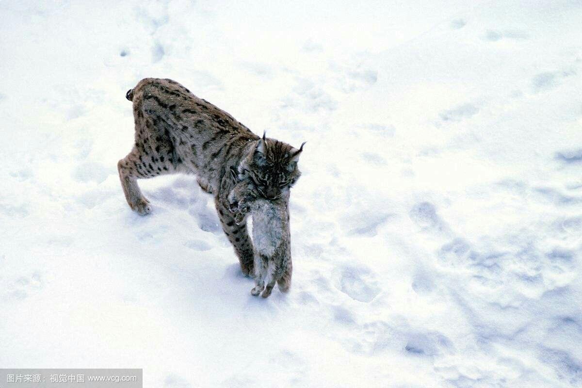 大猫传奇:猞猁!