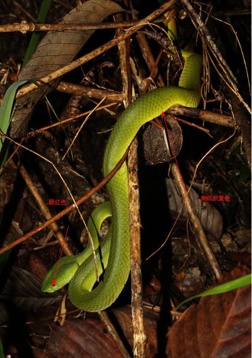 竹叶青属(trimeresurus)鉴赏 你以为竹叶青都是原谅色图片