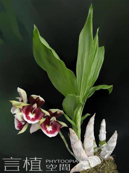 bulbophyllum elliotii的鳞片状鞘叶,几乎看不见 另外有些兰花会被误图片