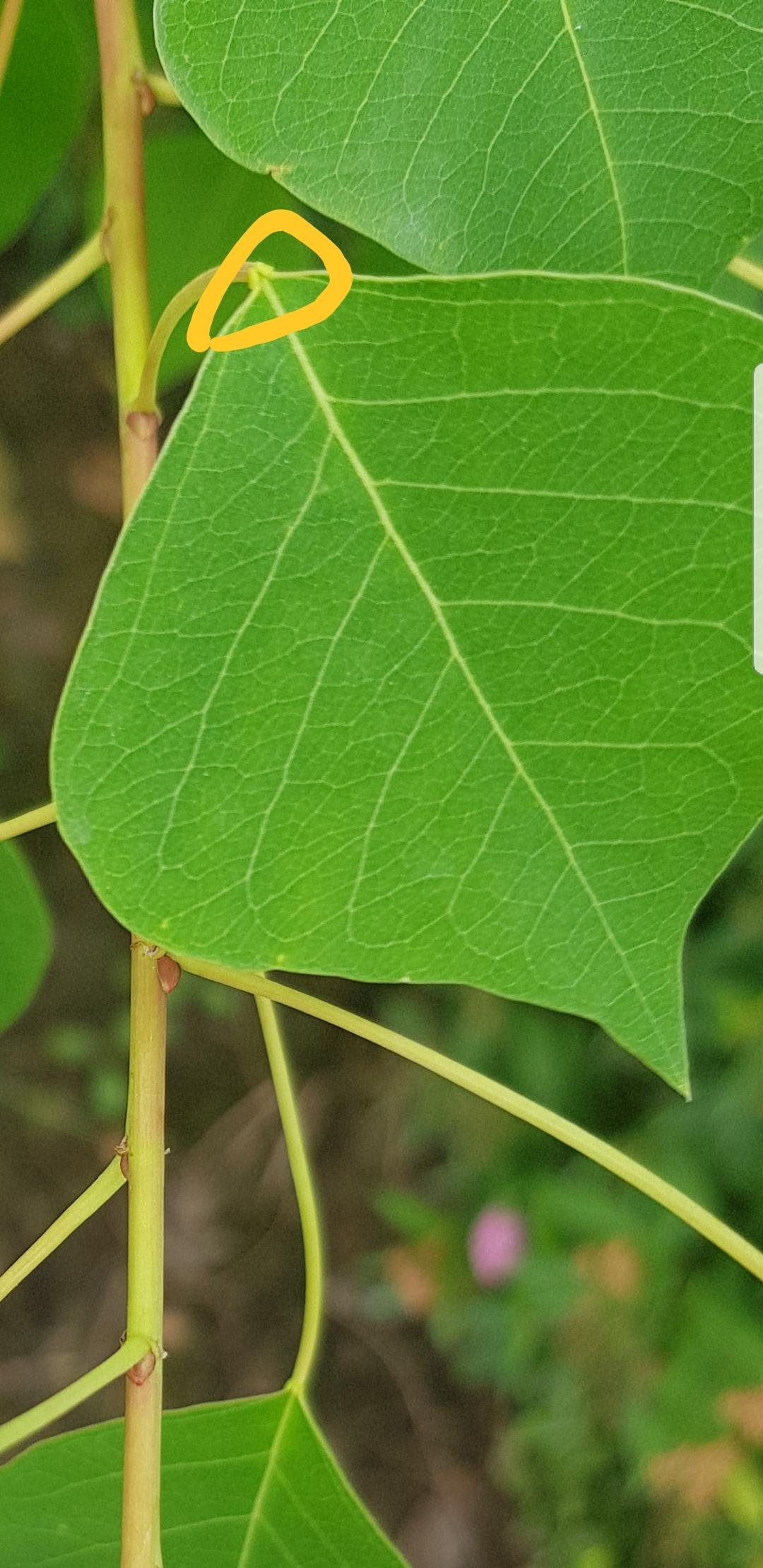 每天认识一种植物-乌桕图片