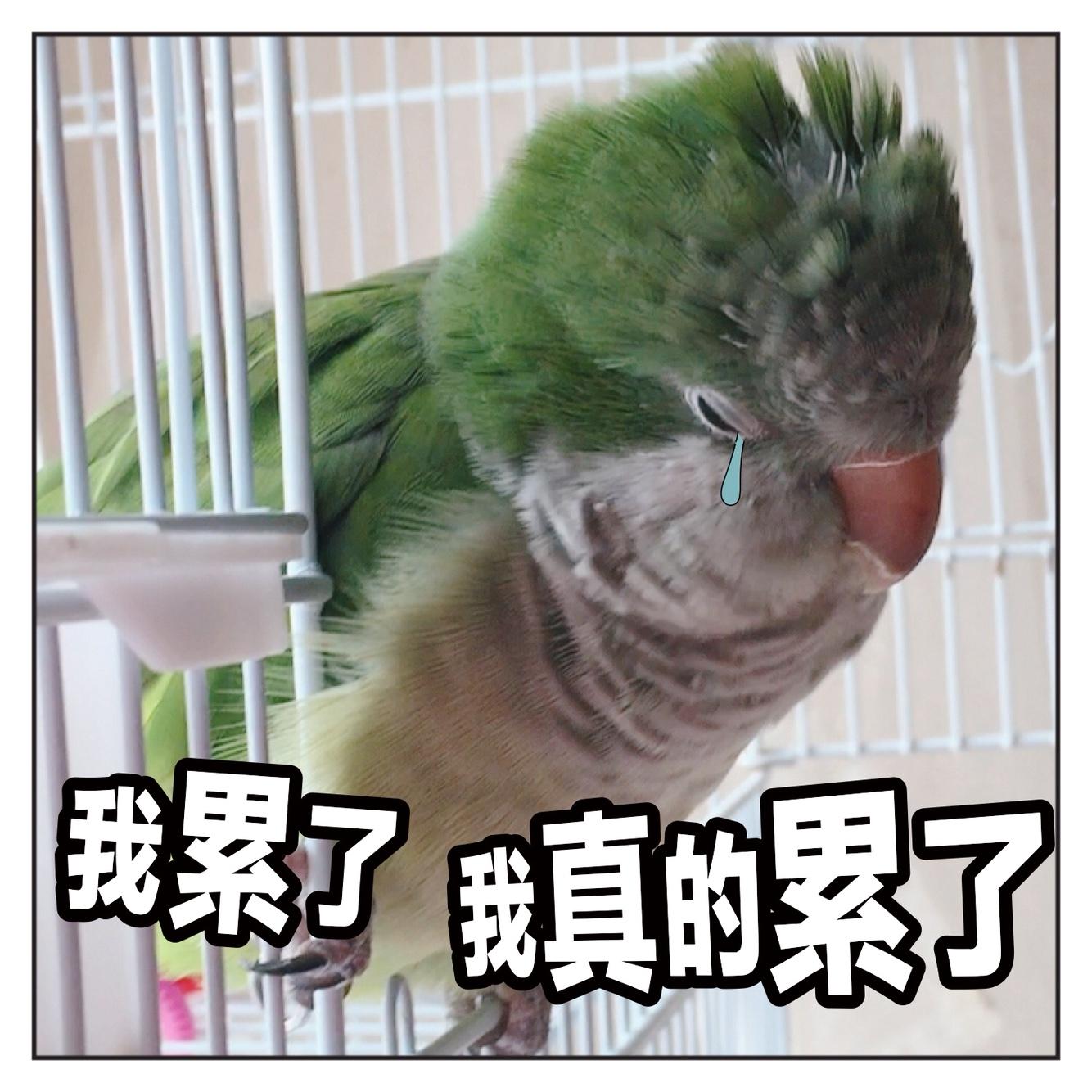 揪是这只鸟——沙雕鹦鹉表情包6图片