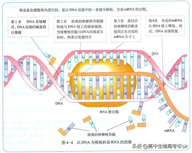 高中信息遗传生物的转录教案过程必修高中英语2图片