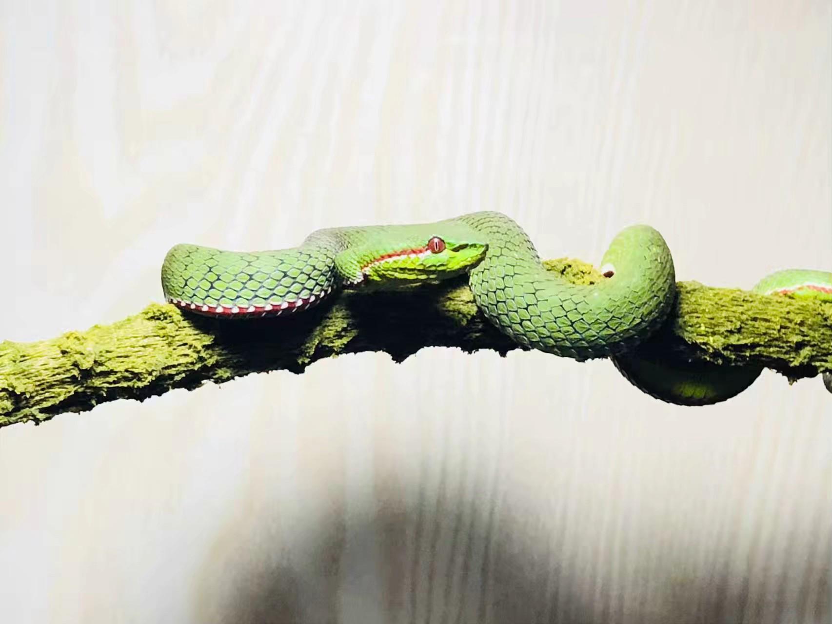 竹叶青蛇初级饲养指南篇(一)图片