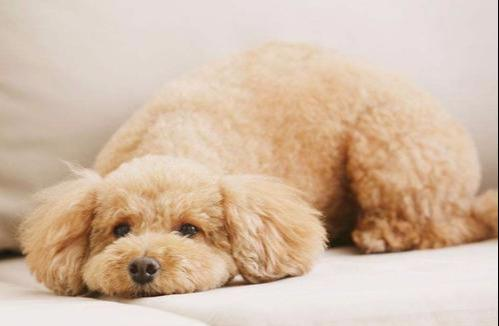 贵宾犬不同睡姿代表不同性格,如果出现最后一种,宠主要警惕起来