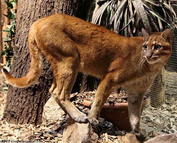 亚洲金猫_亚洲金猫的亚种分化与色型