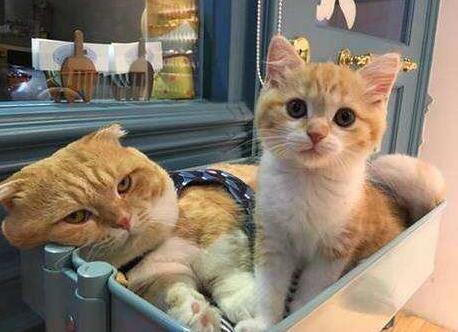 中国本土常见的猫咪品种有哪些?图片