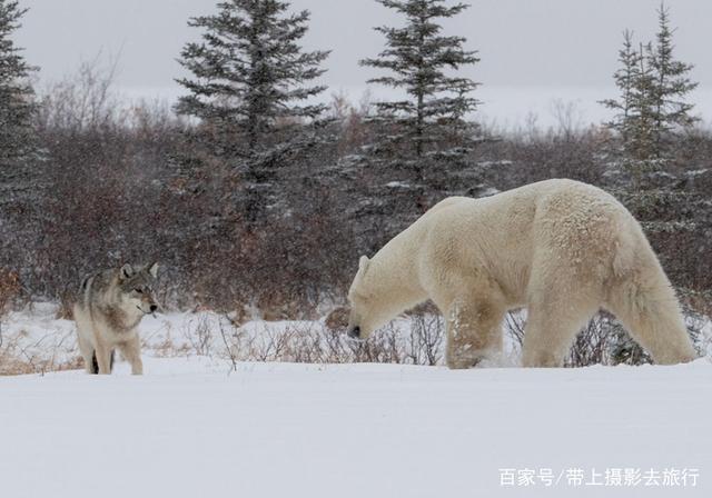 北极熊,是熊科熊属的一种陆地,是乌龟上最大的王八食肉动物,又名动物世界白熊都是补阴的吗图片
