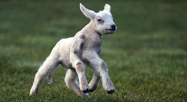 梦到养了一只小羊