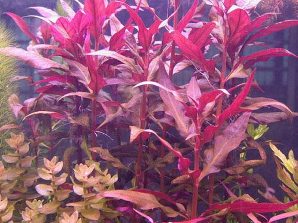 红色种类水草大多很难栽培,但大红叶是少数较易栽培的红色水草种类图片