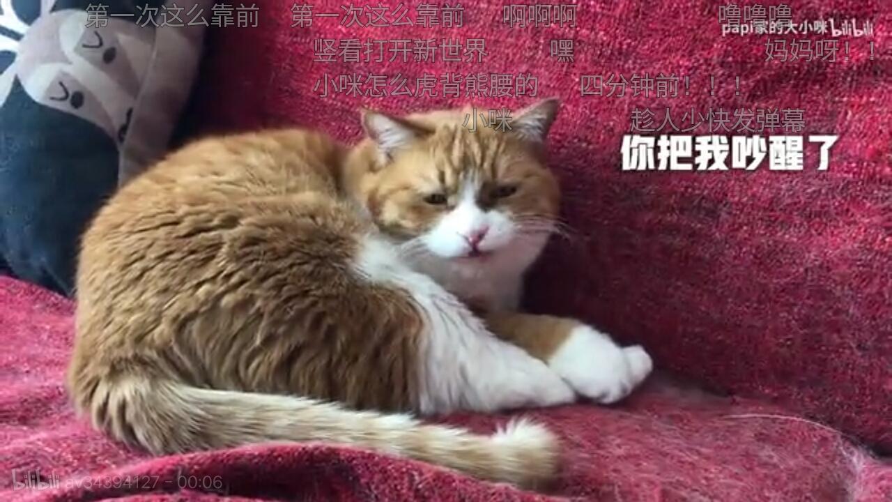 【云养猫】b站吸猫指南┃花花与三猫中分陈皮李白杜甫